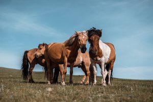 Horse Mongolia Estepa